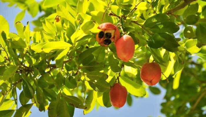 Kacang-Racun-Tanaman-Berbahaya-di-Indonesia