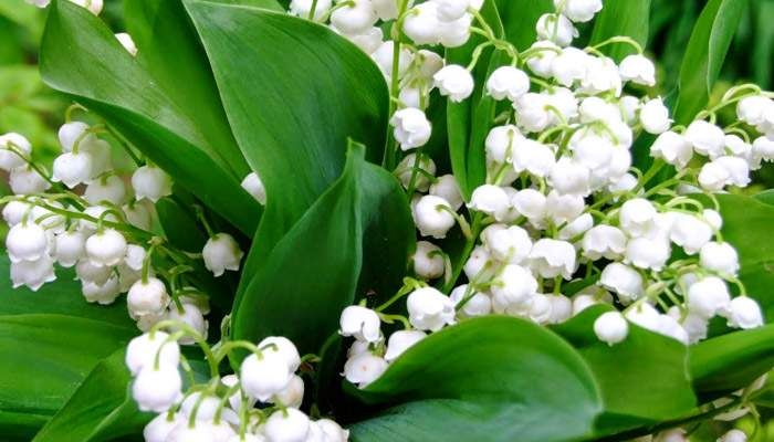 Lily-of-The-Valley-Bunga-Beracun