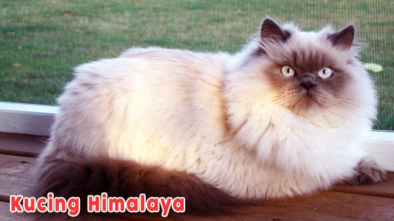 Kucing Himalaya Kucing Berbulu Hitam Dan Putih