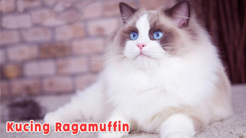 Kucing Ragamuffin Kucing Berbulu Putih