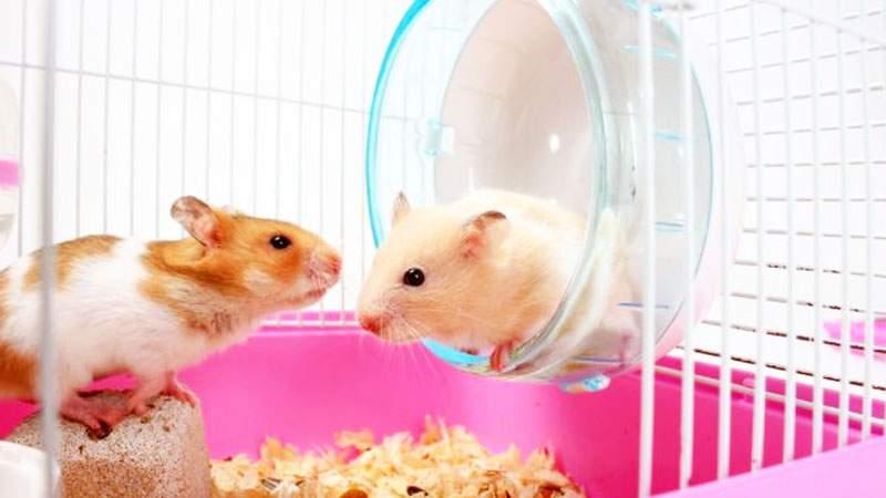 Berikan Aksesoris Hamster Dalam Kandang Cara Merawat Hamster Agar Tidak Mati