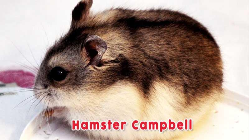 Hamster Campbell Jenis Jenis Hamster Yang Banyak Dipelihara Di Indonesia