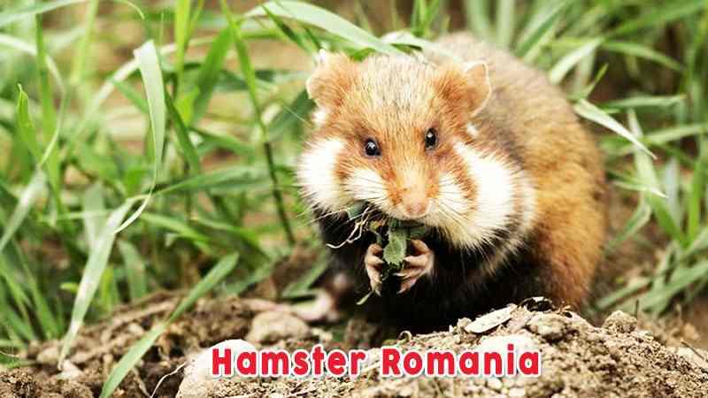 Hamster Romania Jenis Jenis Hamster dan Ciri Cirinya