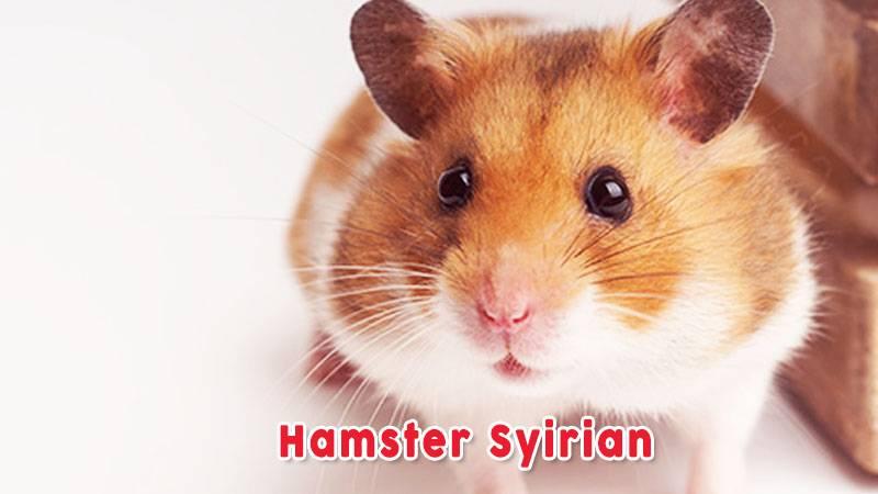 Hamster Syirian Jenis Jenis Hamster Jinak