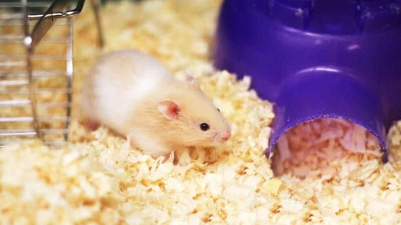 Mengganti Serbuk Kayu Pada Kandang Cara Merawat Hamster Yang Baru Lahir