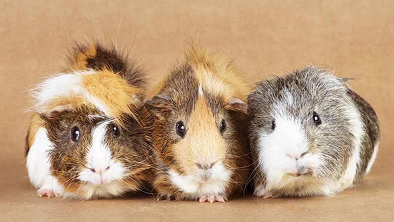 Pilih Jenis Hamster Yang Ingin Dipelihara Cara Merawat Hamster Roborovski