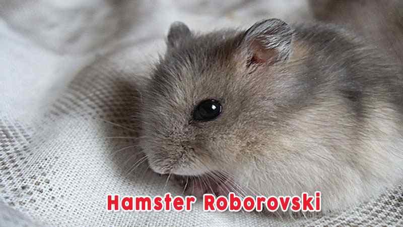 Hamster Roborovski Jenis Hamster Yang Banyak Dipelihara
